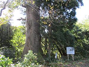 伊勢屋の大杉