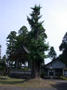 極楽寺の銀杏